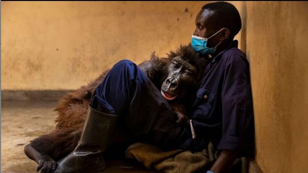 Amor hasta el final: una gorila muere en los brazos del cuidador que la rescató hace 14 años