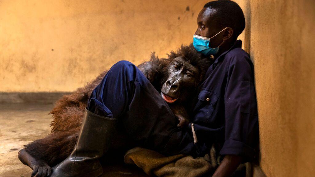 Muere la gorila Ndakasi en brazos del cuidador que la rescató hace 14 años
