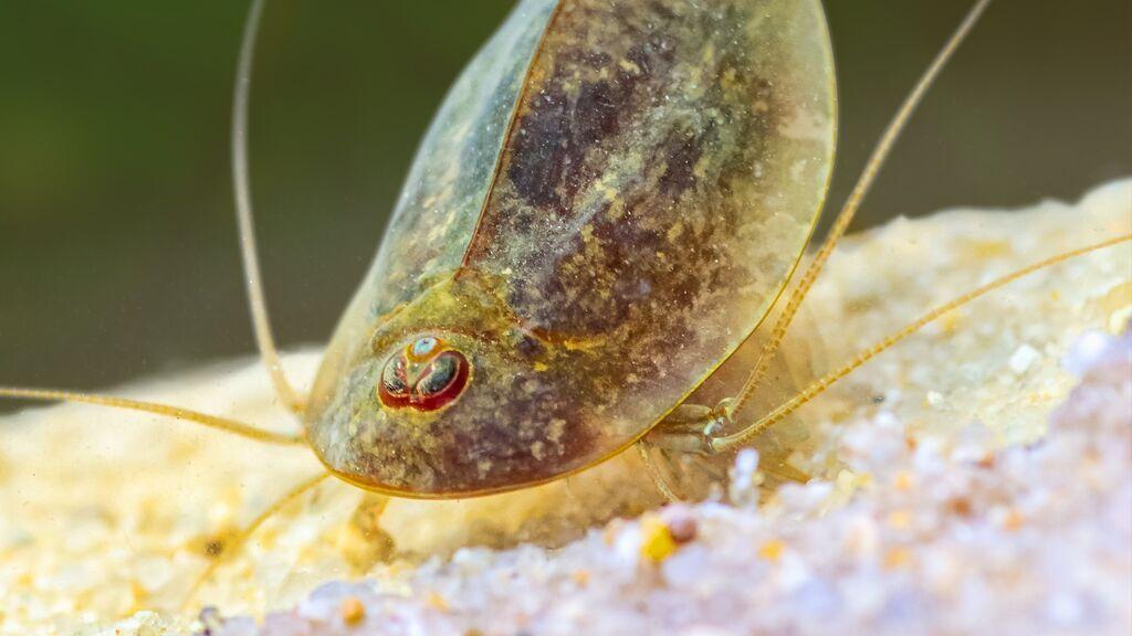 """""""Triops cancriformis"""",  la especie más antigua de la tierra que se está criando en El Palmar"""
