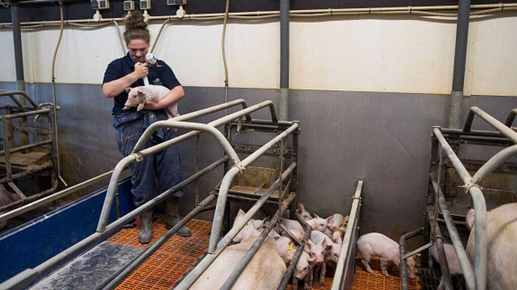 """La """"hecatombe"""" de los cerdos en las granjas británicas"""