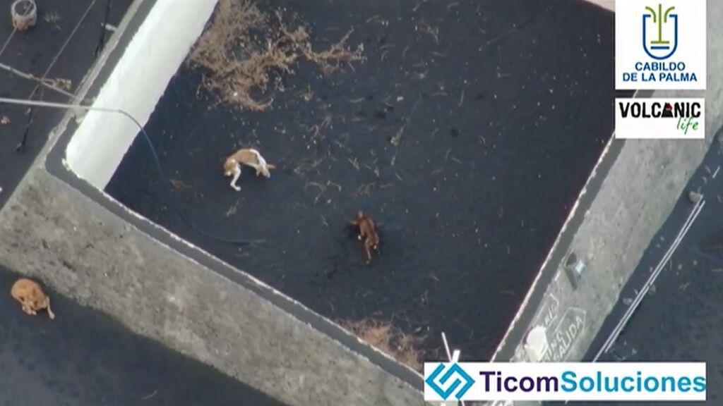 Al menos cuatro perros están cercados por la lava de La Palma en dos estanques