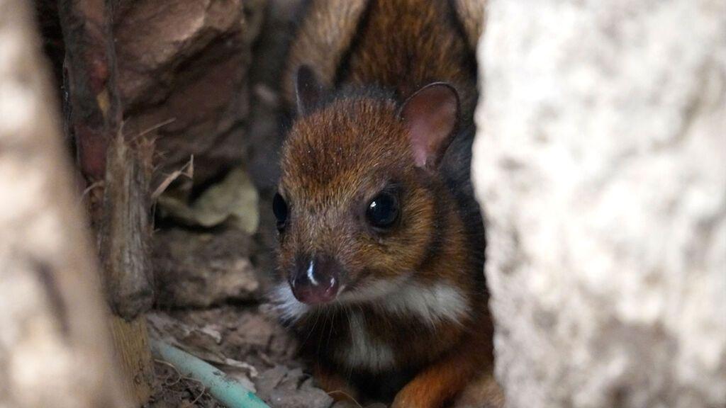 Nace una cría de ciervo ratón, el rumiante más pequeño del mundo, en Bioparc de Fuengirola