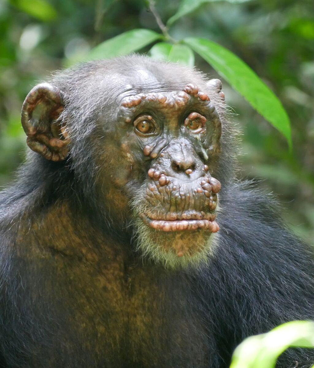 Poblaciones de chimpancés en África se están contagiando de lepra, y los científicos están desconcertados