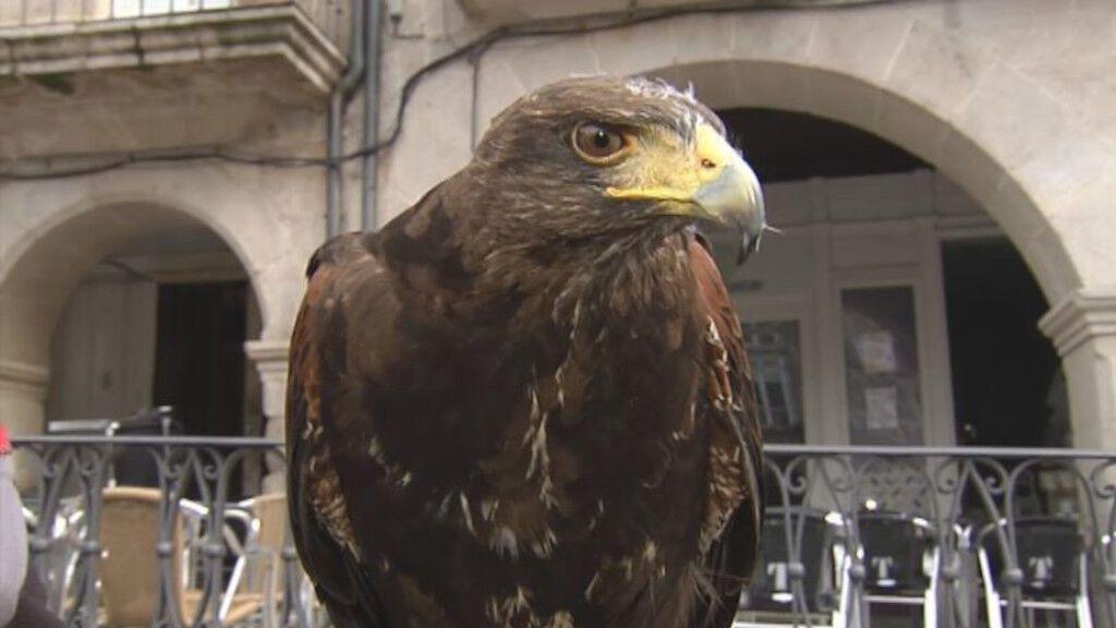 Pitu, el águila que ayuda a los hosteleros de Ourense a espantar a las palomas