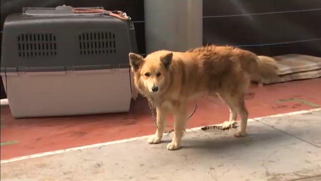 El SEPRONA se vuelca en el rescate y cuidado de animales afectados por el volcán en La Palma