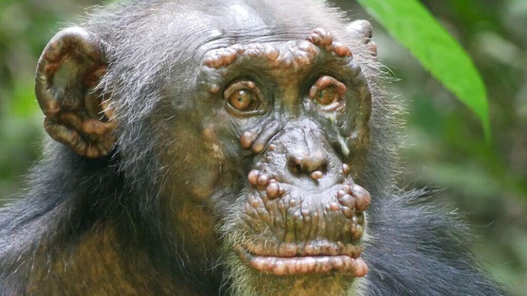 Poblaciones de chimpancés en África se están contagiando de lepra
