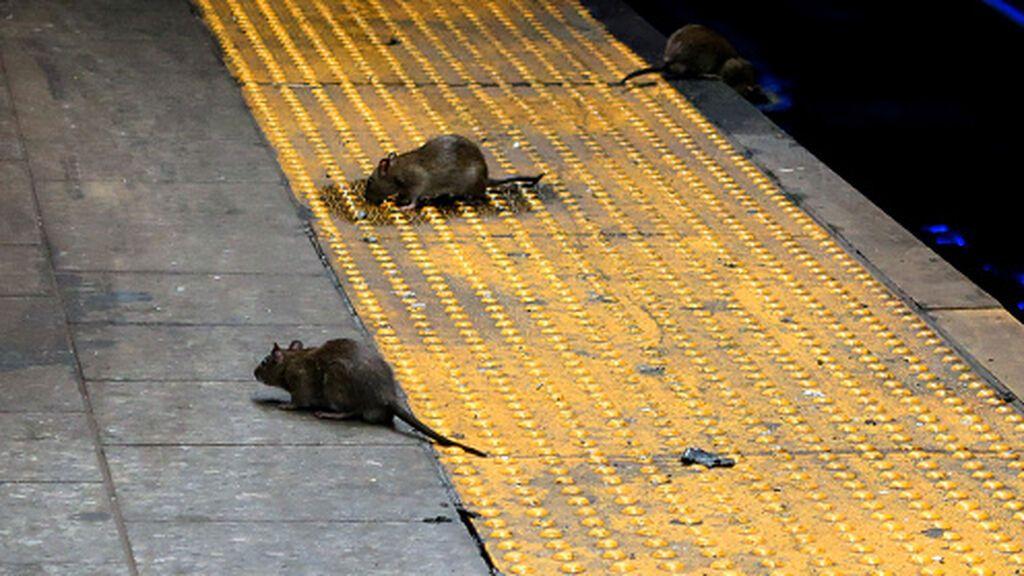 Una rara enfermedad se propaga en Nueva York: así afecta la leptospirosis que transmiten las ratas