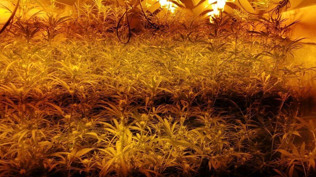 Tres hombres denuncian un asesinato en una plantación de marihuana en Lleida y acaban detenidos