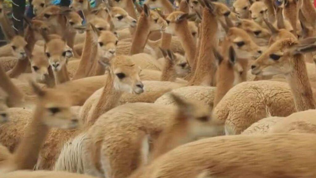 Perú completa con éxito la repoblación de vicuñas en la provincia de Cuzco