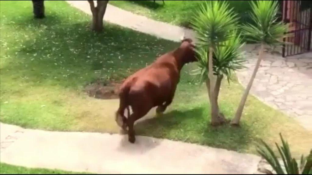 Una vaca retinta siembra en caos en Tarifa: se coló en una urbanización y se paseó por la calle varias horas