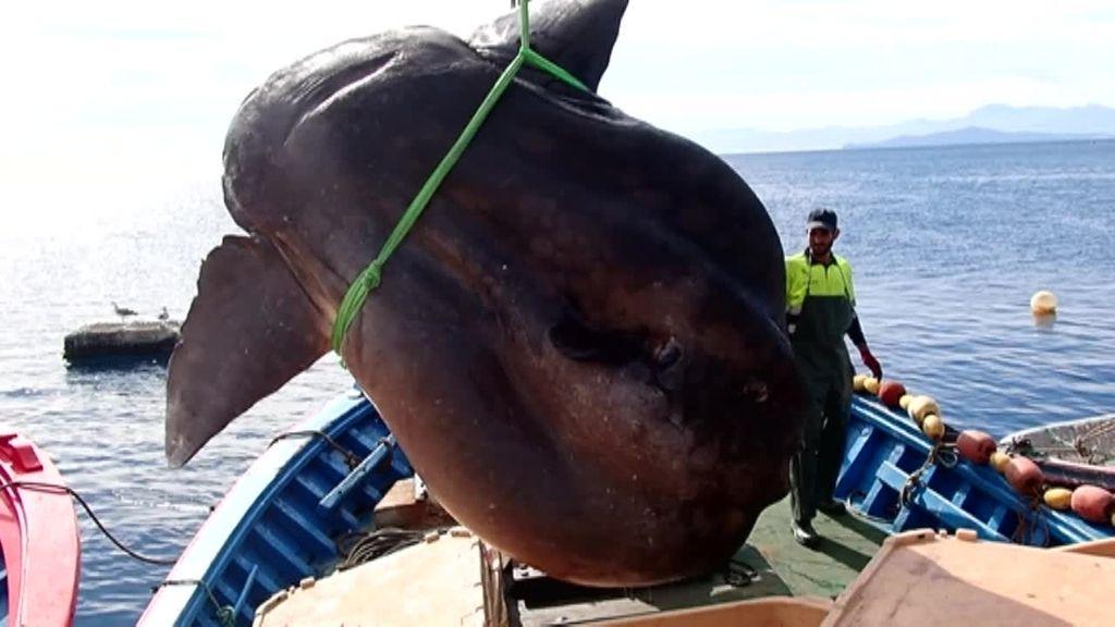 Un pez luna de más de una tonelada de peso se engancha en una almadraba en la costa de Ceuta