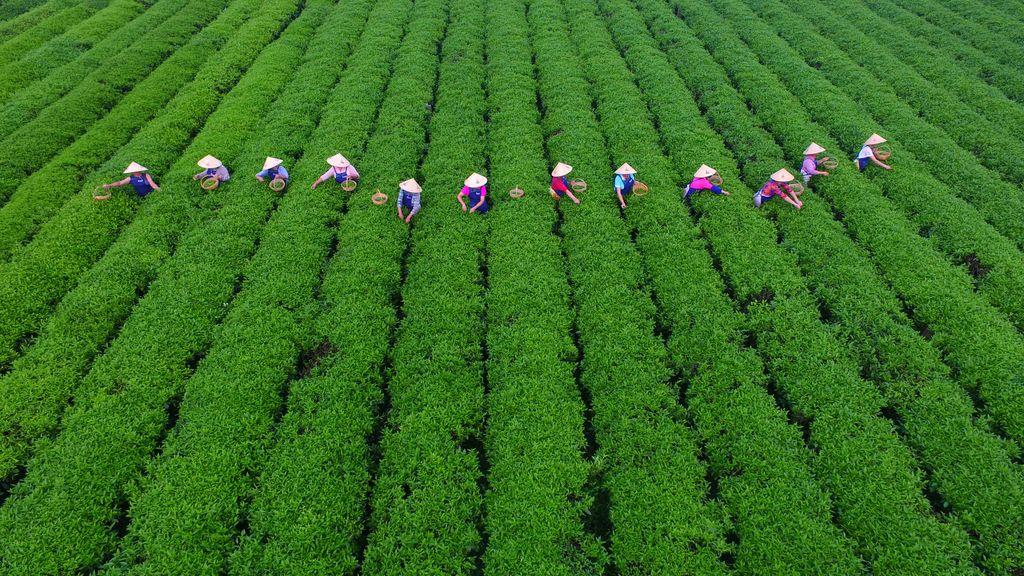 Recolección de hojas de té