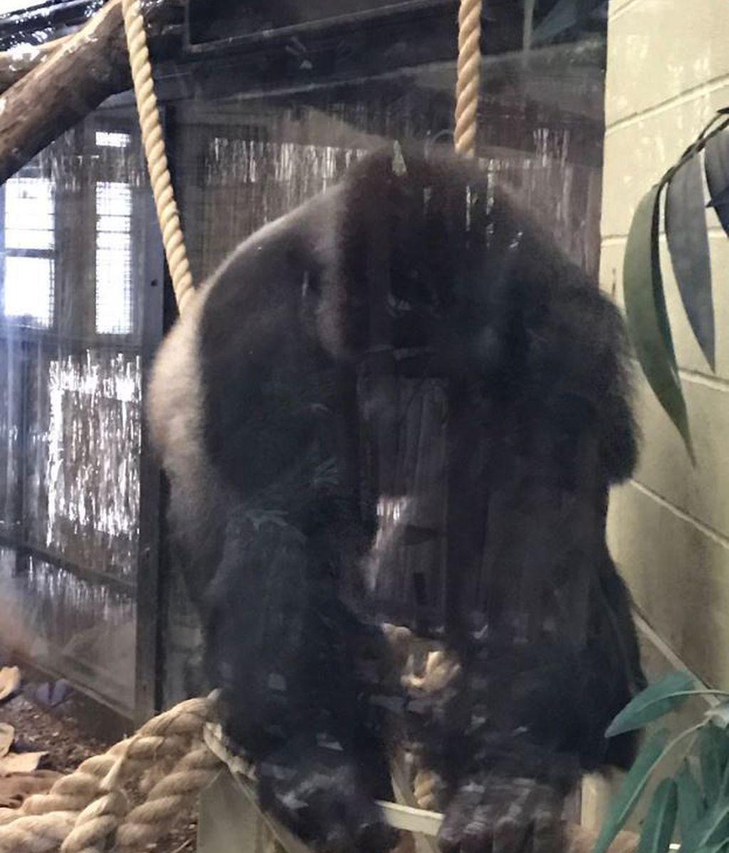 La huída de un gorila causa el pánico en el zoo de Londres