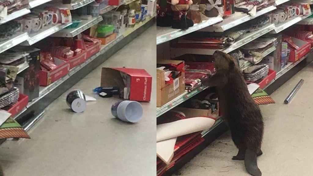 Un intrépido Castor destroza los árboles de Navidad artificiales al entrar en una tienda