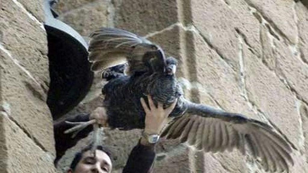 Pacma recoge firmas para evitar el lanzamiento de una pava viva en Jaén