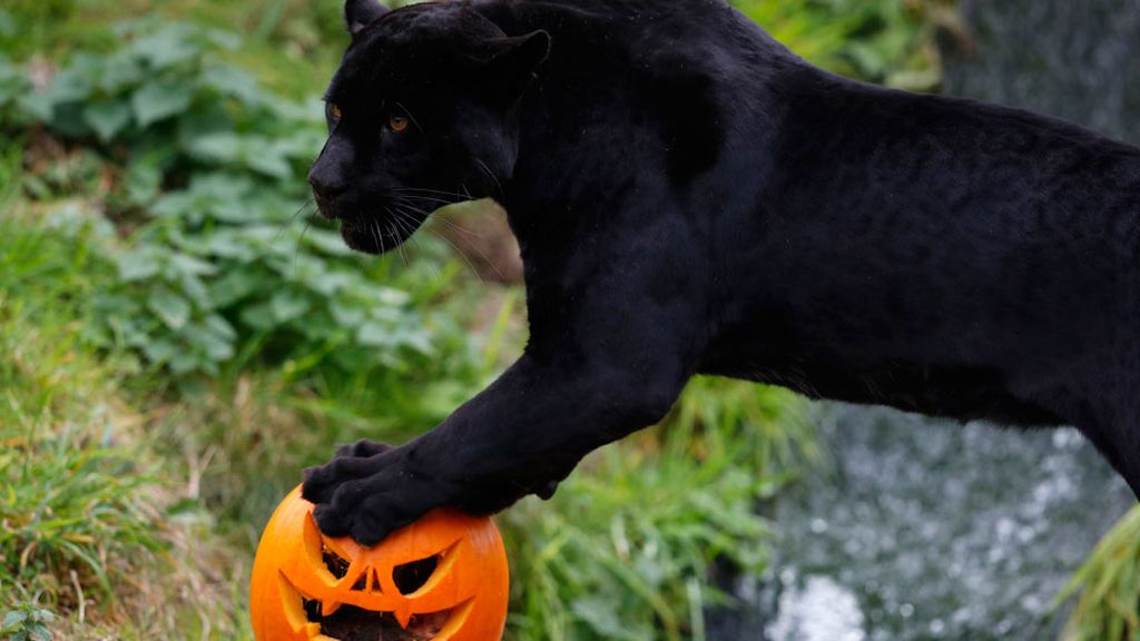 El jaguar de la calabaza