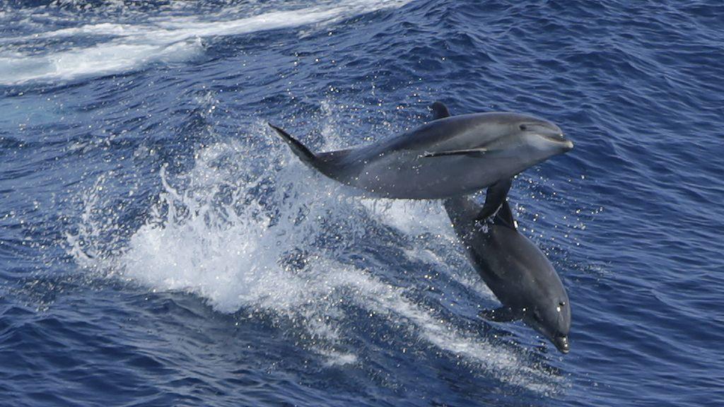 Los delfines, la nueva sensación del mar caribeño