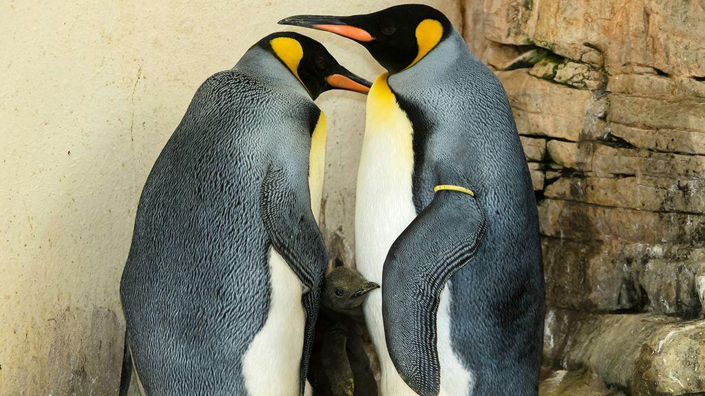 Una tierna familia de pingüinos en un zoo de Viena