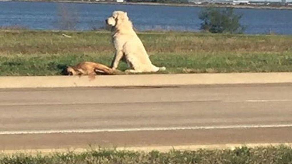 Un perro se niega a abandonar a su compañero muerto en la carretera
