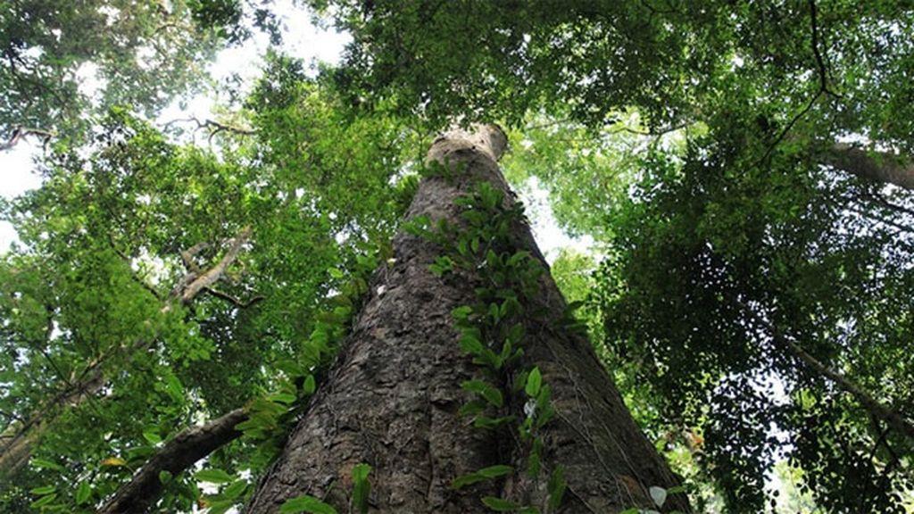 Árbol más alto de África