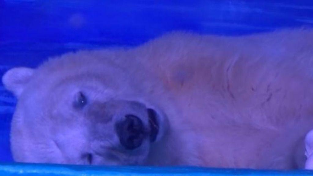 Un oso polar en un centro comercial en China