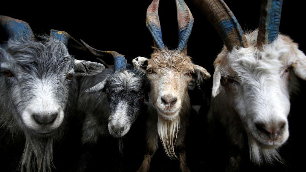 Las cabras para el Dashain
