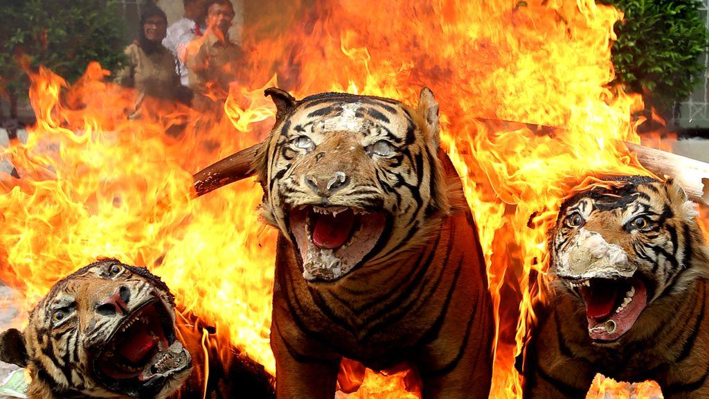 Quema de artículos procedentes de la caza furtiva en Indonesia