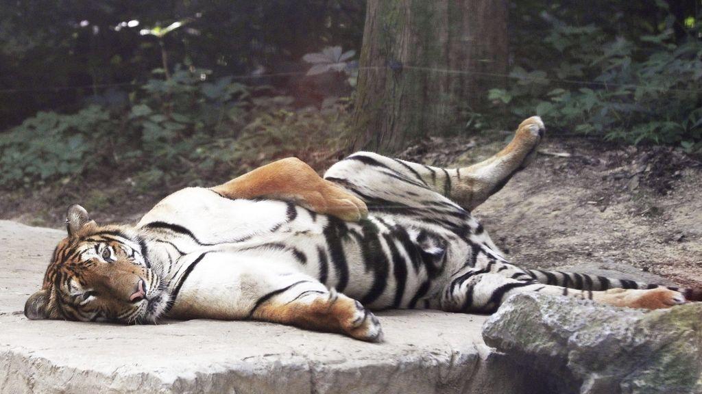 Tigre del zoo de Everland