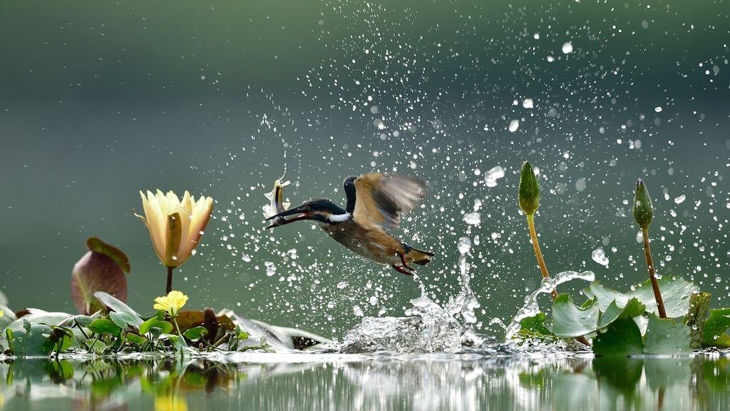 Un martín pescador atrapa su comida