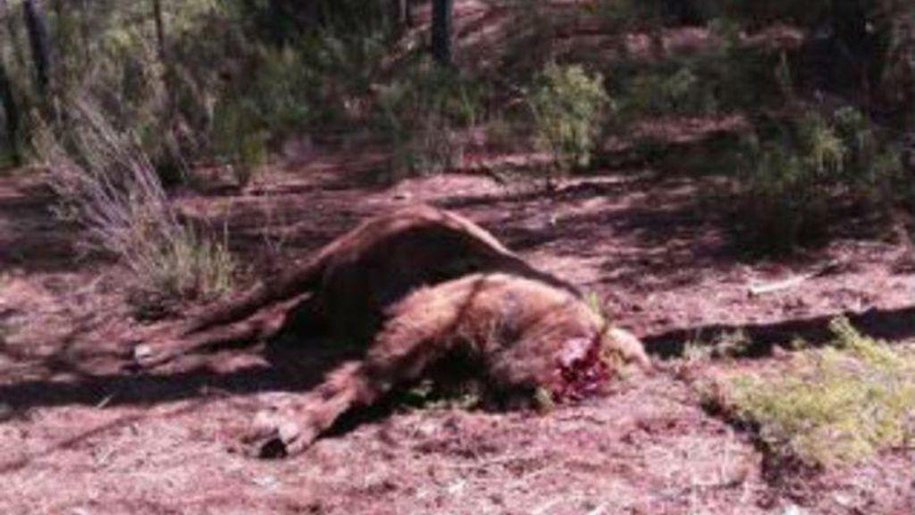 Bisonte decapitado Valencia
