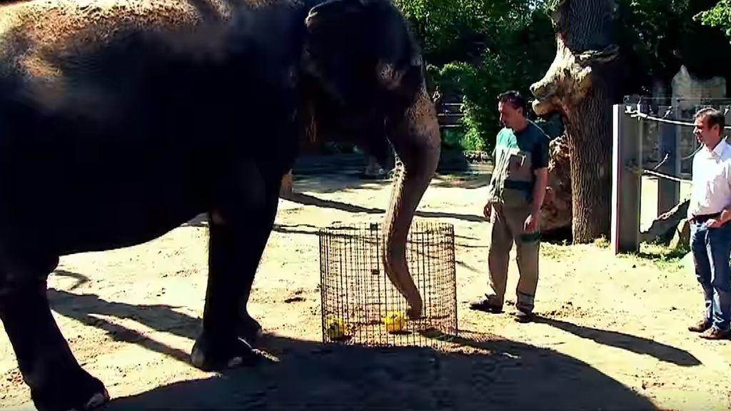 Elefante adivino