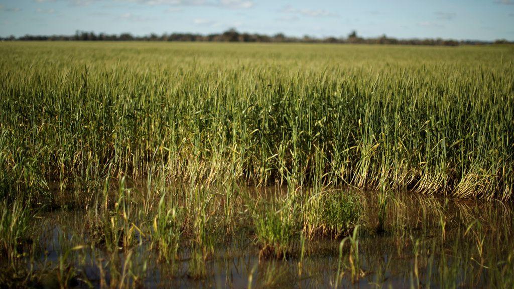 Un campo de trigo destrozado por la naturaleza