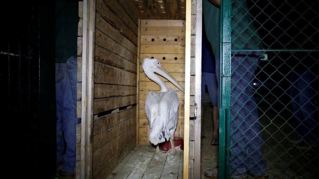 Una organización protectora de animales rescata a pelícano de la muerte