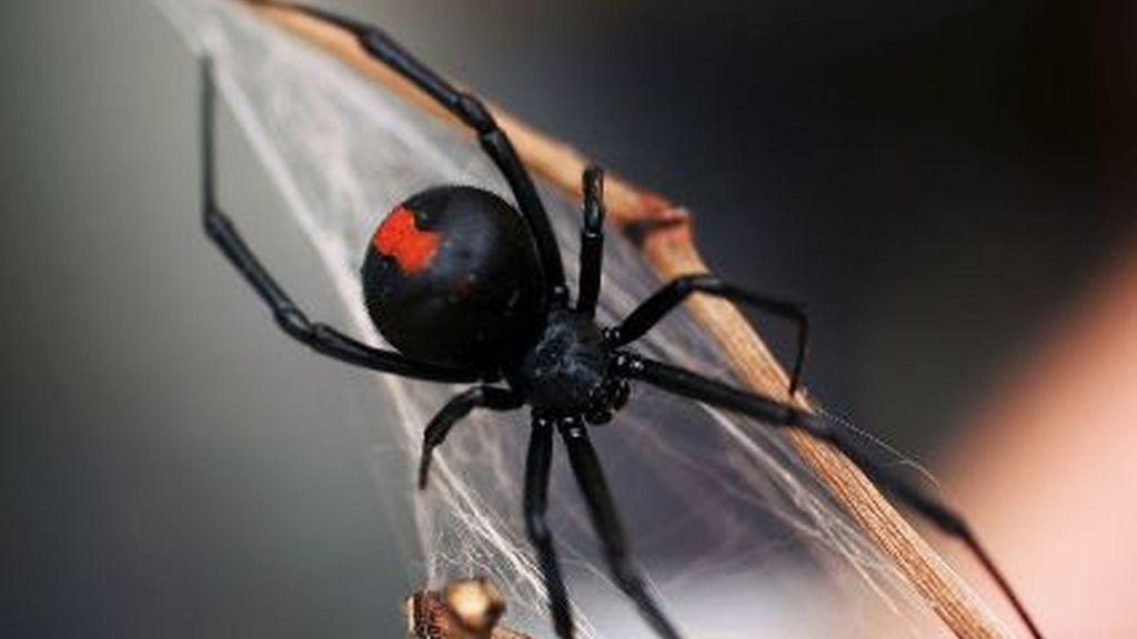 Araña de espalda roja