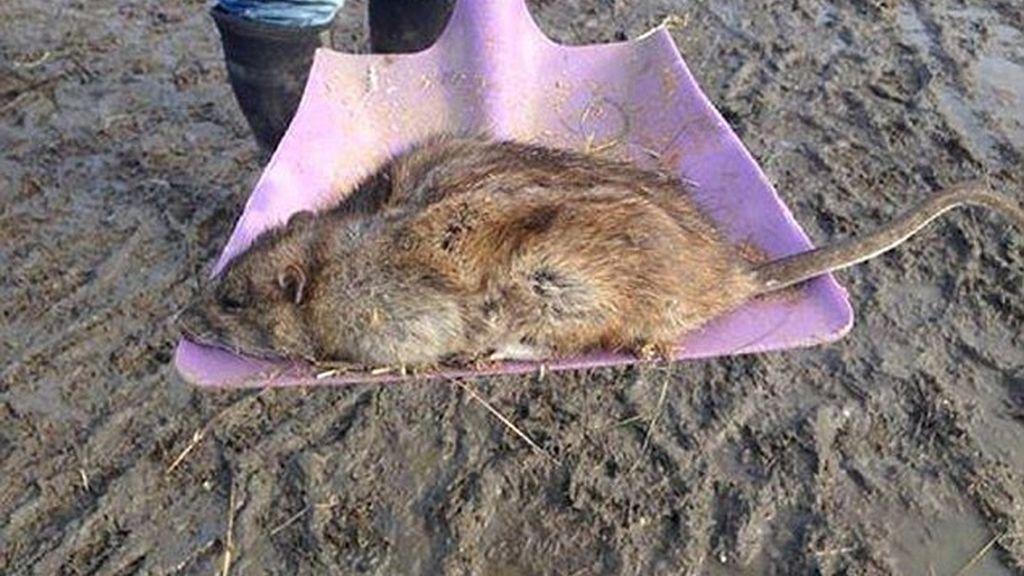 Súper ratas en Reino Unido