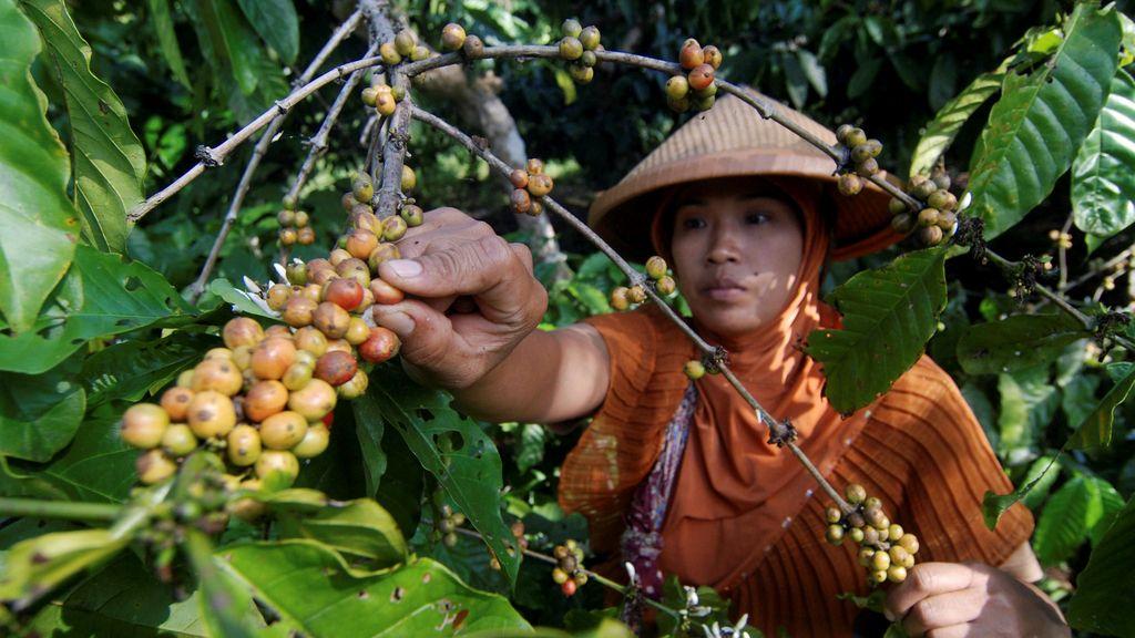 Los trabajadores de café en Indonesia