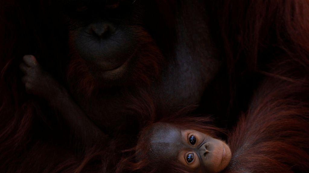 Con cinco meses, esta pequeña orangutana desafía a la cámara