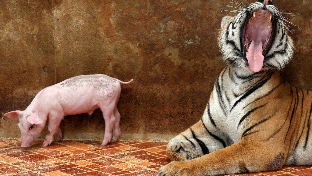La curiosa relación entre un cerdo y un tigre