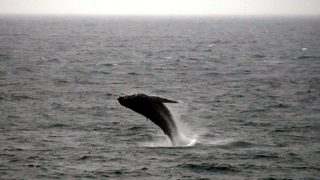 Las ballenas son las protagonistas en Australia