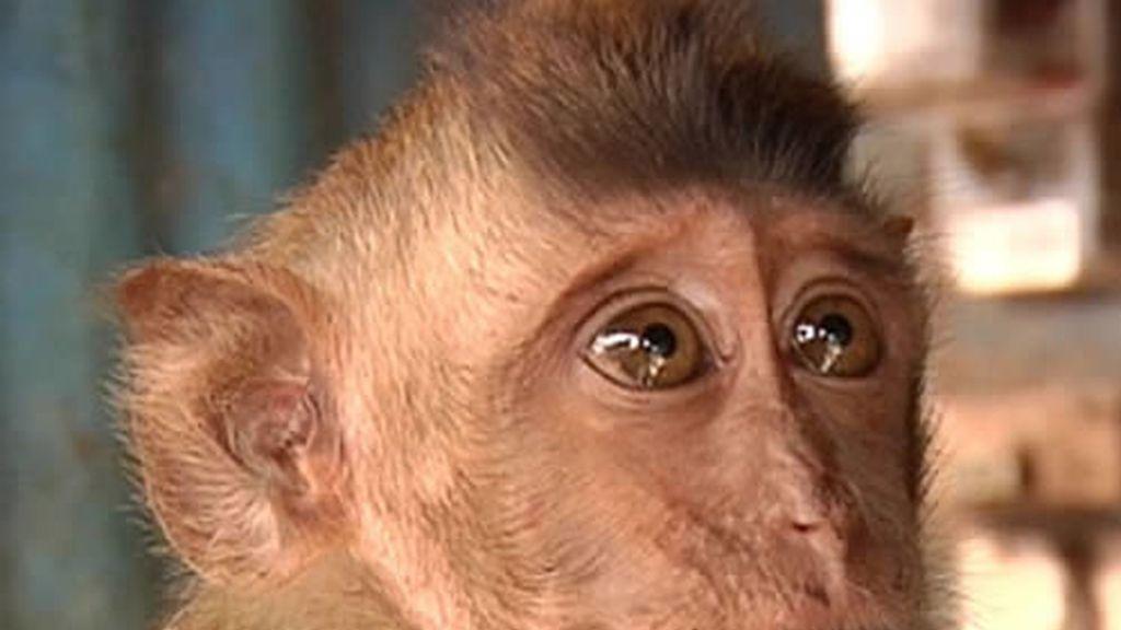 Mono en mercado