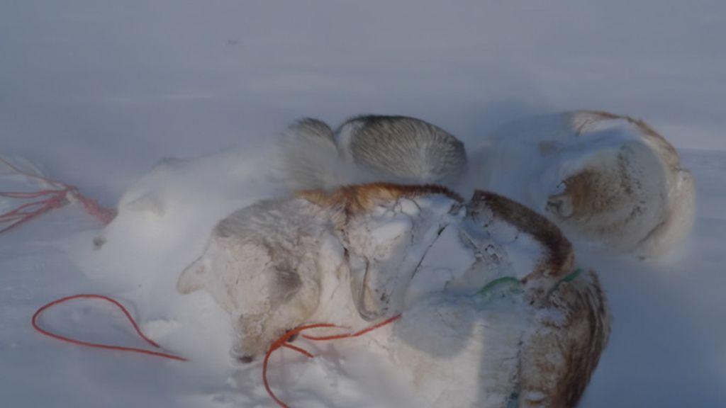 Los perros se protegen con nieve del viento