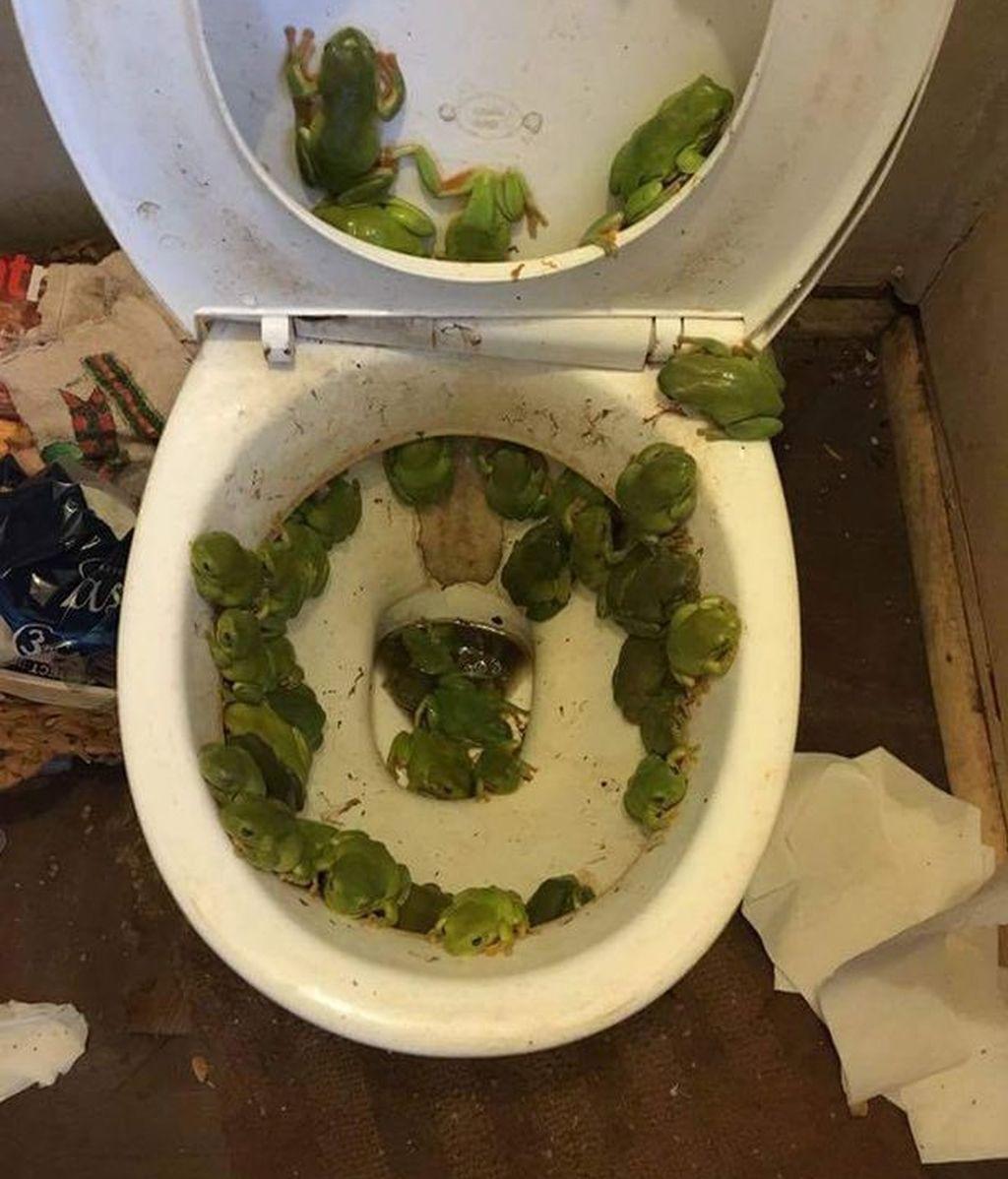 Un inodoro infestado de ranas