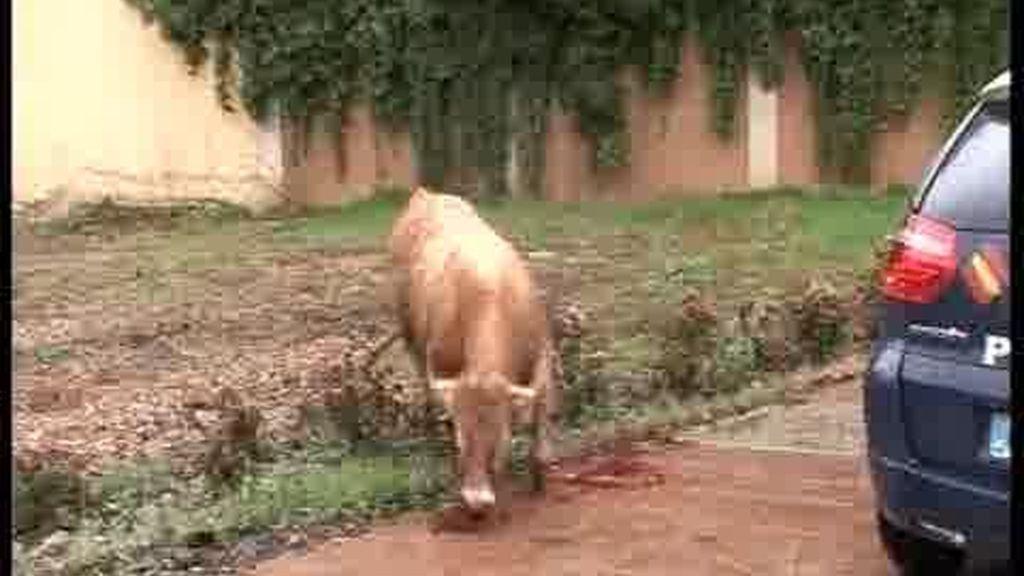 Un toro pasea por la ciudad