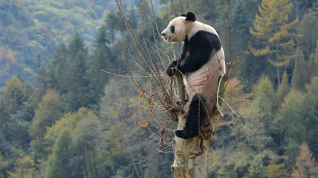 Un oso panda de lo más atrevido