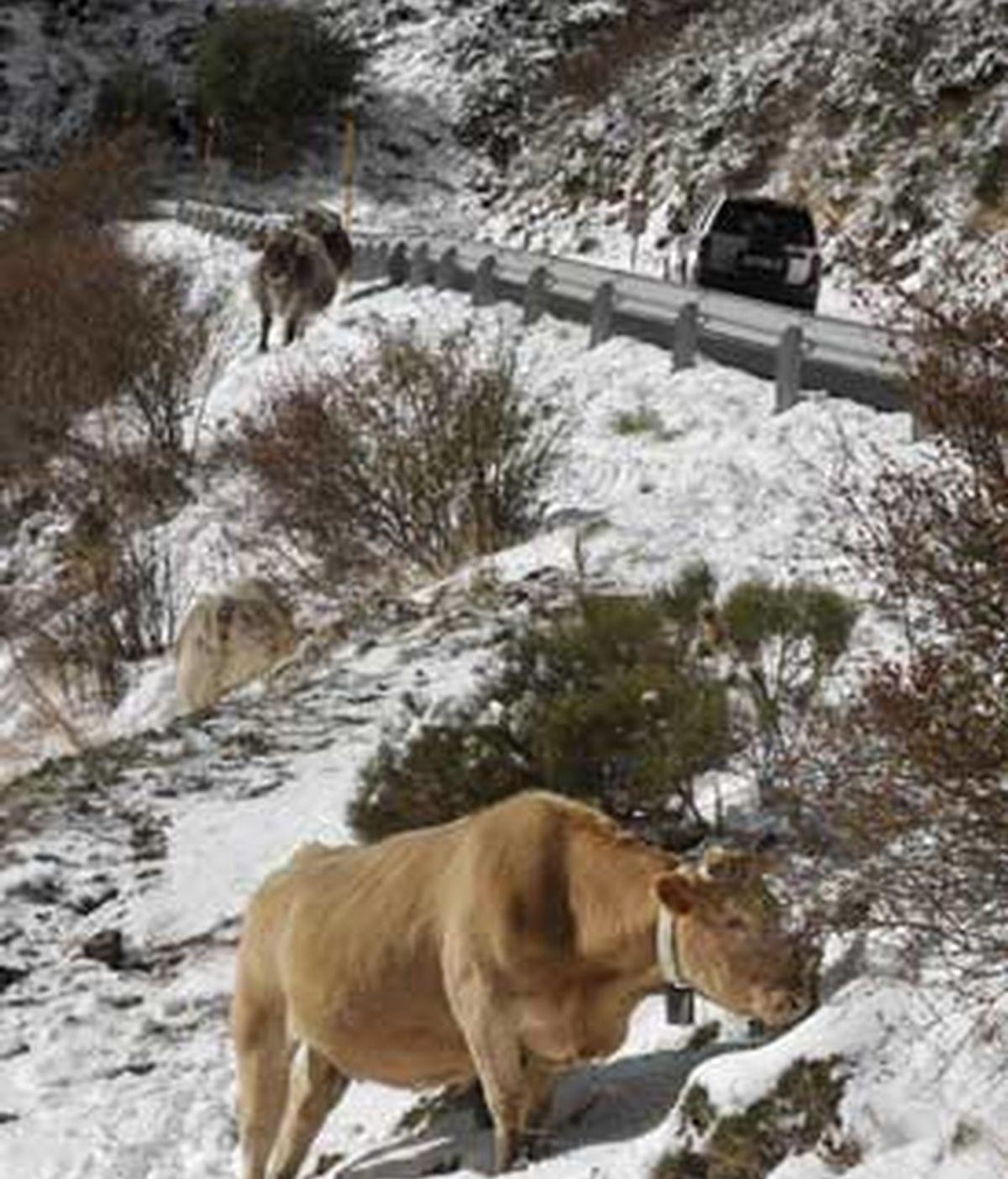 La primera gran nevada de la temporada en Cataluña ha teñido de blanco las comarcas del Pirineo y ha obligado a cortar un tramo de la carretera C-28, incluido el puerto de la Bonaigua, y a usar cadenas en otras diez vías. FOTO: EFE