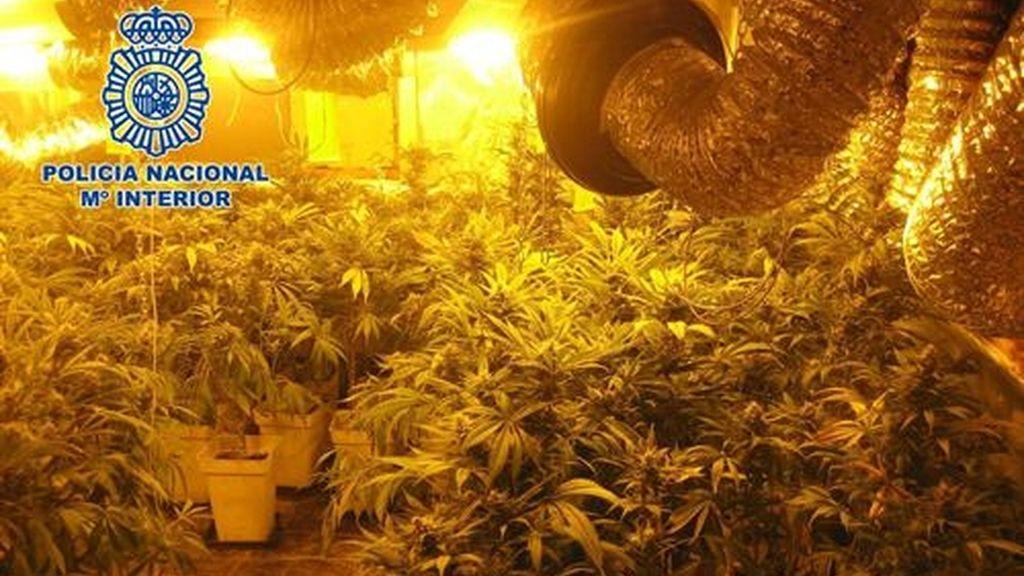 Desmantelado uno de los mayores invernaderos de marihuana con 2.400 plantas en Valencia