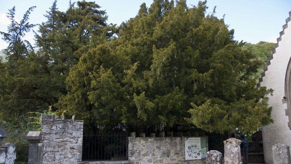 árbol más viejo,Reino Unido,árbol Escocia,tejo,taxus