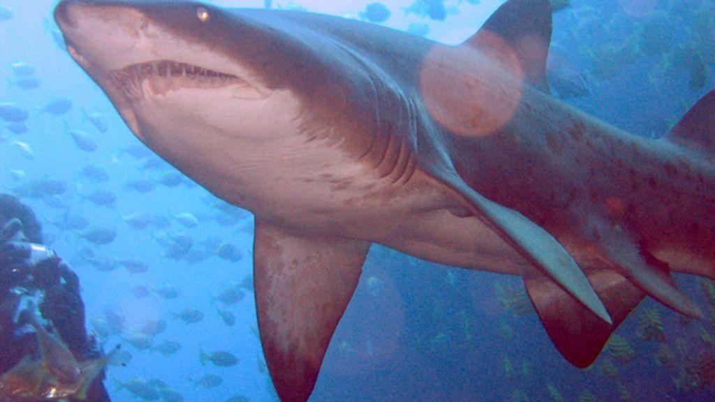 Los tiburones de Australia 'avisarán' de su cercanía en Twitter