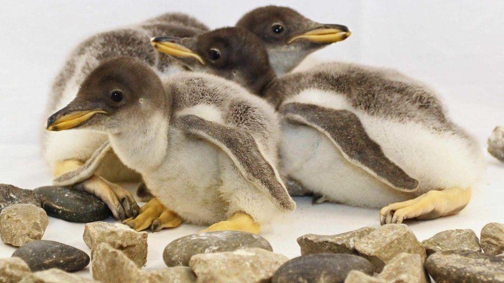 Pingüinos Gentoo nacidos en el Acuario de Tenneessee