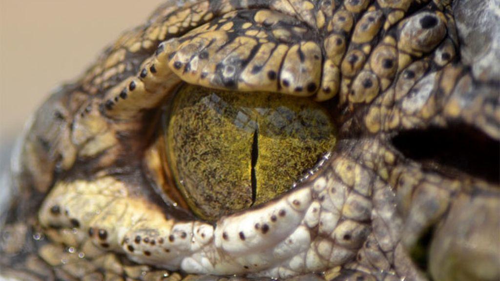 cocodrilo, ojo reptil, reptiles, ojo cocodrilo